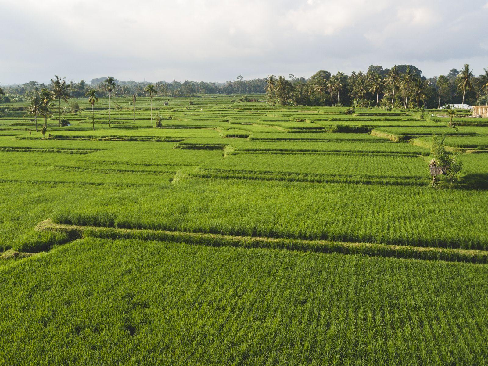 Campo de arroz onde ficava o nosso hotel em Bali