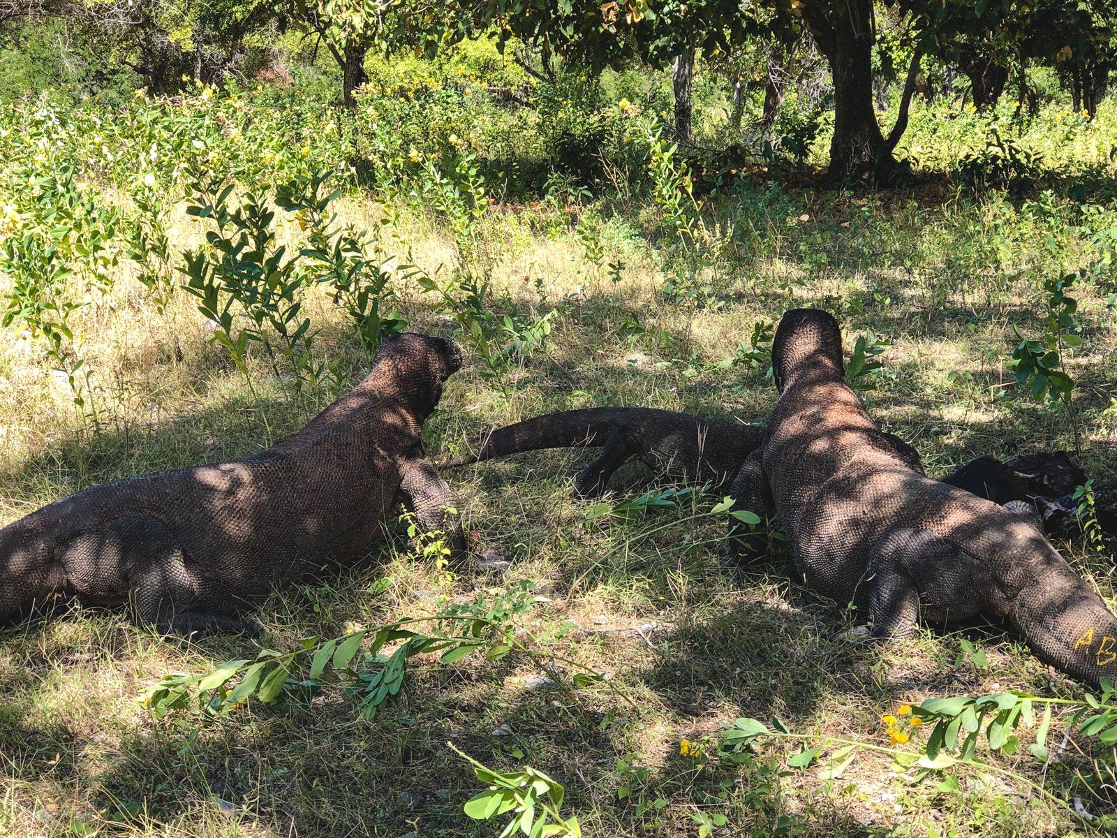 Dragões de Komodo comendo um Javali